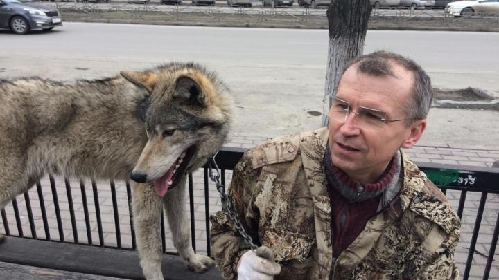 «Платить не буду»: хозяин волка, укусившего ребёнка в челябинском парке, готовит иск о клевете
