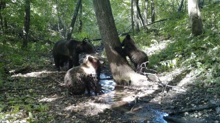 В «общественную баню» в Башкирии пришла медведица и трое медвежат