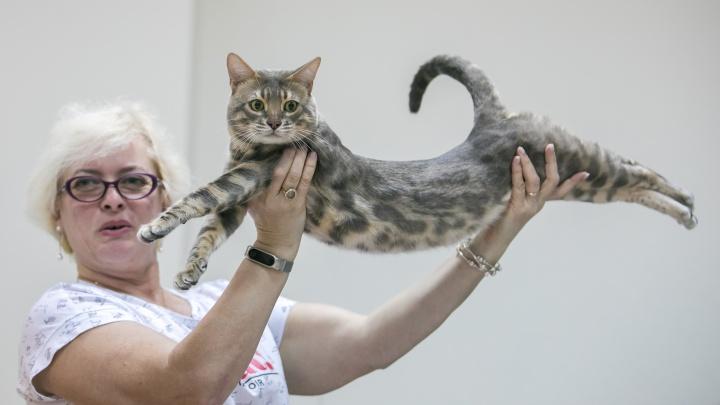 Киса по цене машины: любуемся роскошными породистыми котиками с выставки