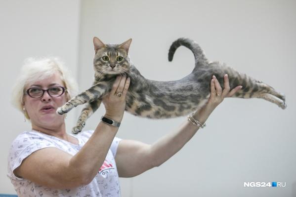 Бенгальский котик редкого окраса — судья демонстрирует гибкое мускулистое тело животного и рассказывает об особенностях породы