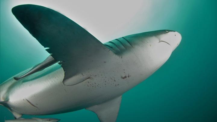 Новосибирец сфотографировал стаю семижаберных акул у берегов Южной Африки