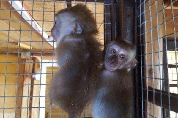 Женщина пыталась перевезти через границу шесть обезьянок