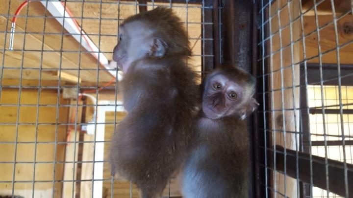 В Челябинске рассмотрят дело контрабандистки о провозе через границу обезьян под видом кошек
