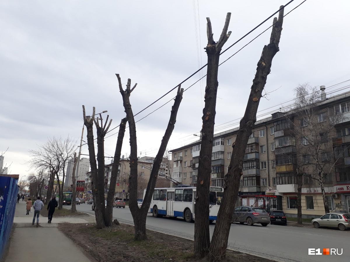 Либо так —либо вообще убирать такие деревья, говорит специалист