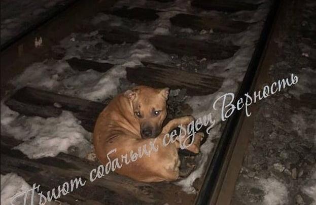 Волонтеры пытаются спасти пса, которого сбил поезд