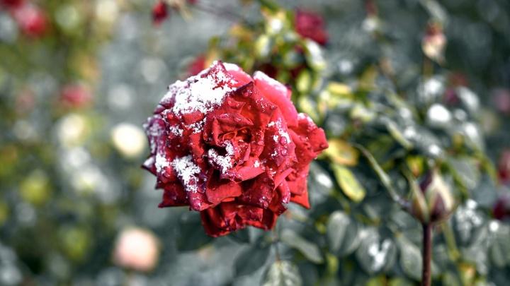 Первый снег в Омске: замёрзшие руки, ледяные дороги и стеклянные розы