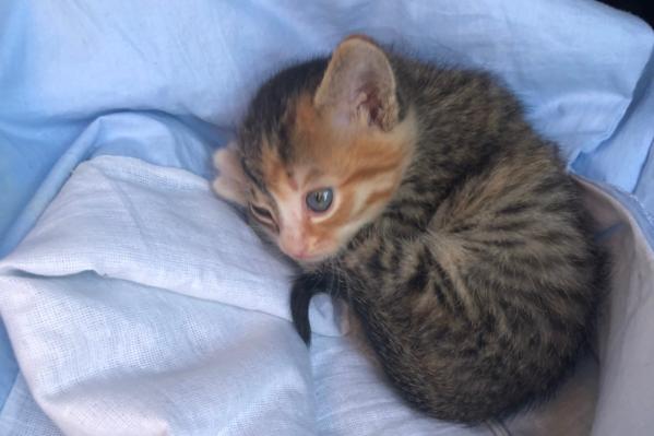 Теперь крошечный котёнок катается с таксистом в салоне