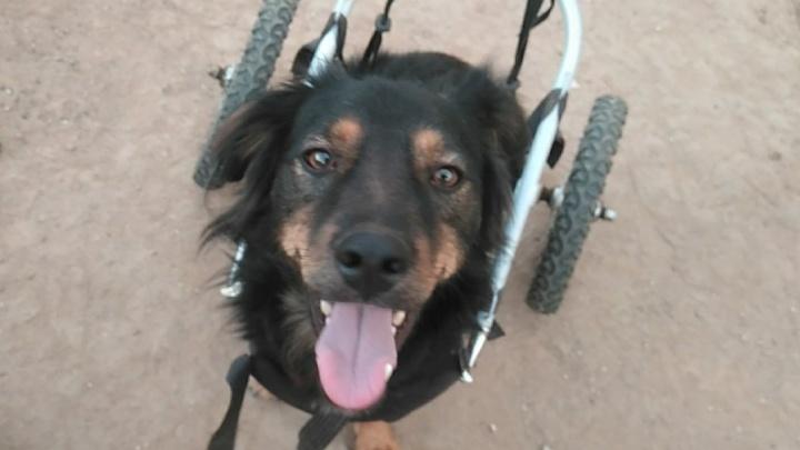 «Он живет в приюте два года»: песик на колесиках ищет любящую семью в Волгограде