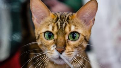 Кто сказал «мяу»? В Пермь на выставку привезли кошек 30 пород