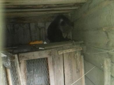 Медвежонка поймали возле детского санатория, заманив его сгущенкой