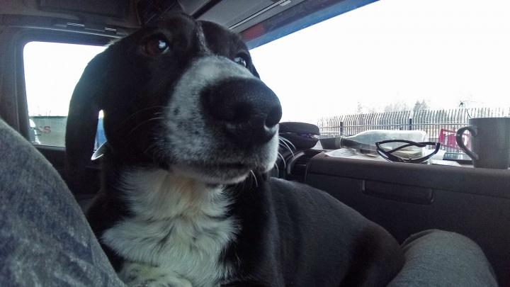 «Скучно, поговорить не с кем»: челябинский дальнобойщик забрал бездомного пса и теперь ездит с ним