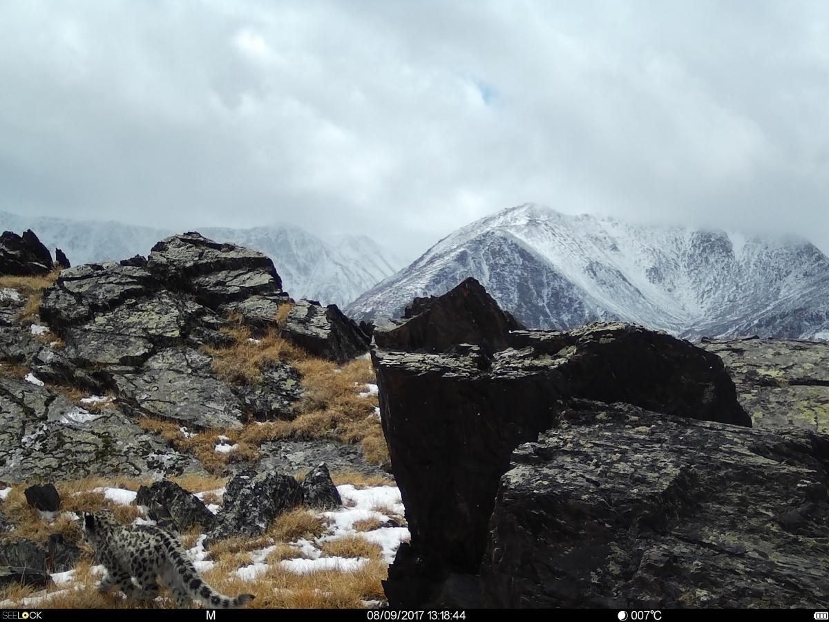 НаАлтае взоне покоя Укок впервый раз сделаны фото снежного барса