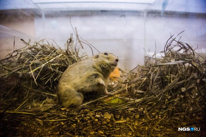 Новосибирские учёные изучают грызунов из разных регионов и стран. Жёлтая пеструшка, например, обитает в Монголии и Казахстане