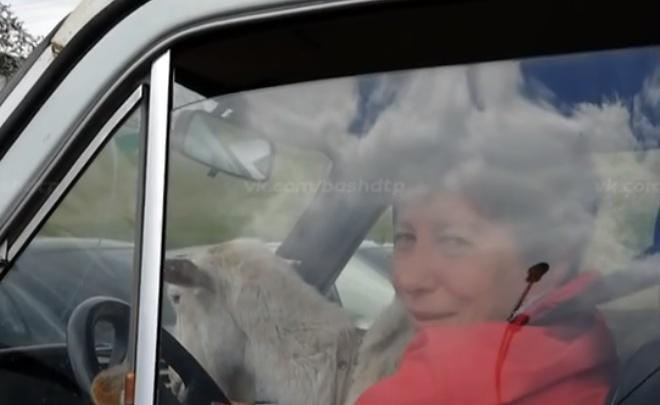 В Уфе женщина везла на переднем сиденьи легковушки козла