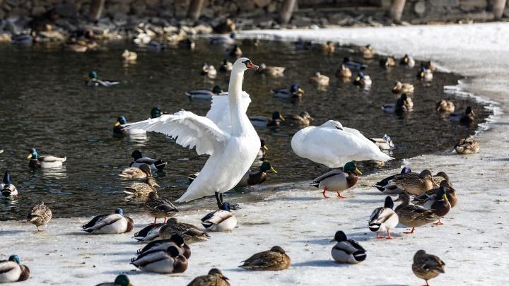 «Она ждала его больше семи лет»: на волгоградском пруду одинокий лебедь Лиза нашла себе жениха