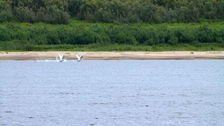Влюблённую пару редких лебедей заметили на Енисее