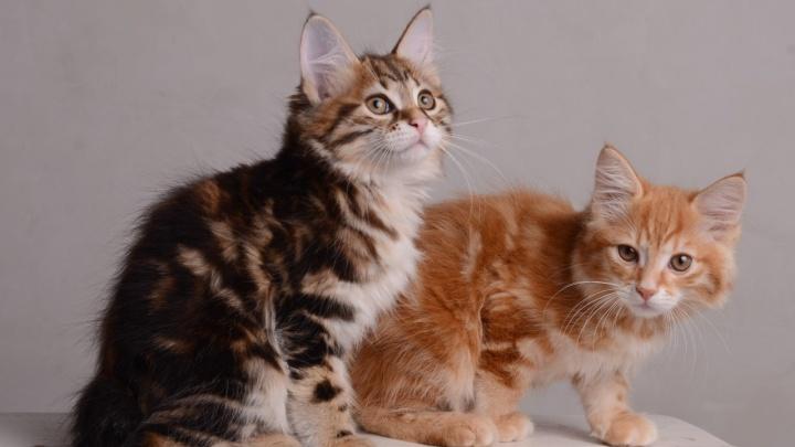 Мяу-тест: угадай породу кошки по мордочке