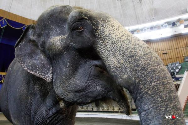 По центру города пройдут слонихи весом пять и три тонны