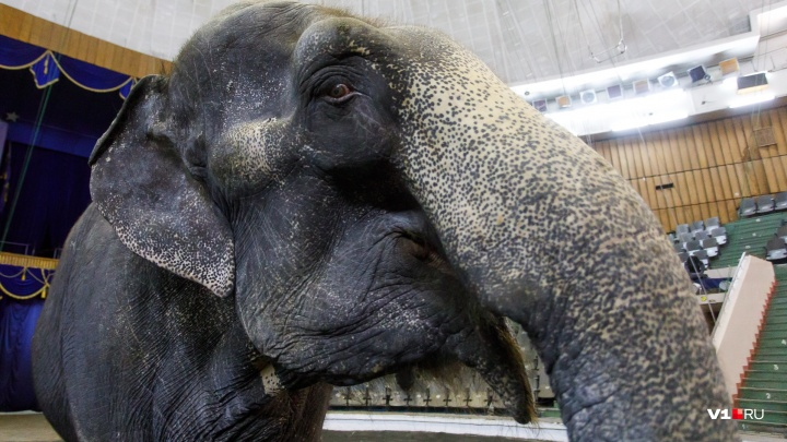 По центру Волжского на Первомай проведут двух упитанных слоних