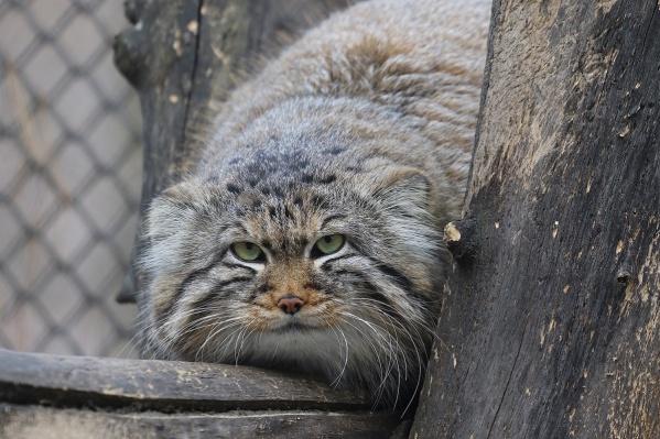 Манул в Новосибирском зоопарке