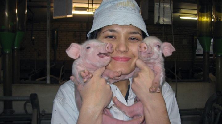 Бесконечное хулиганство и завет Черчилля: восемь причин для того, чтобы полюбить свинью