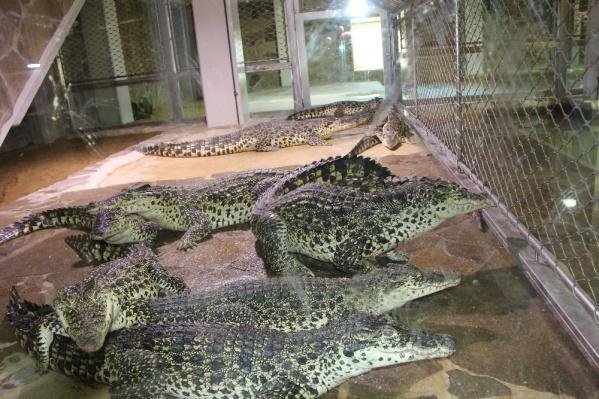 Кубинские крокодилы имеют более светлый окрас и активнее прыгают по сравнению со своими сородичами