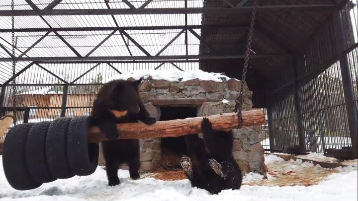 Озорные медвежата проснулись раньше родителей и устраивают потешные игры
