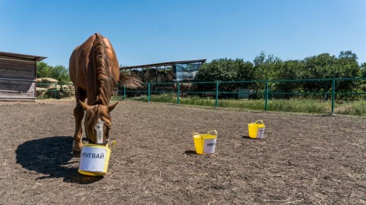 Донской конь Брант верно предсказал результат матча Уругвай — Саудовская Аравия