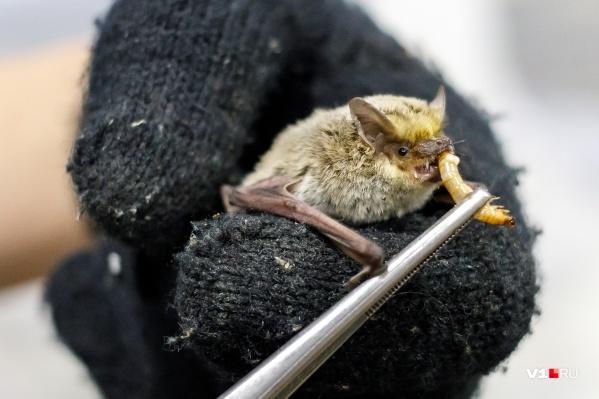 Каждая мышка съедает по пять-шесть аппетитных червяков-зоофобасов в день