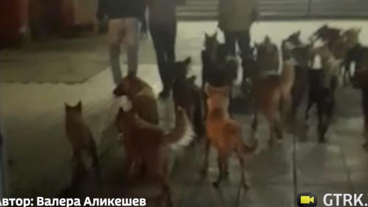 Десятки бродячих собак: жители Башкирии пожаловались на огромную свору бездомных животных