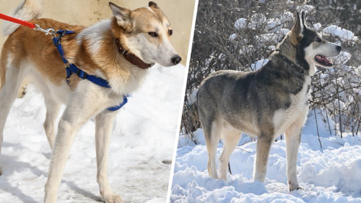 Прямоугольный ротвейлер и неуловимая лайка: кто живет в ростовских собачьих приютах