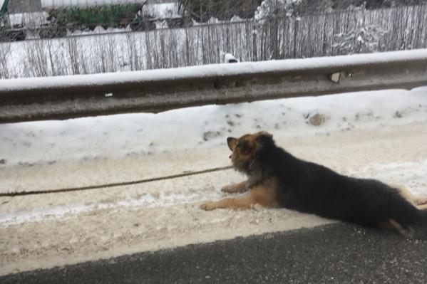Очевидцы сообщают, что у собаки была одышка, а изо рта шла пена