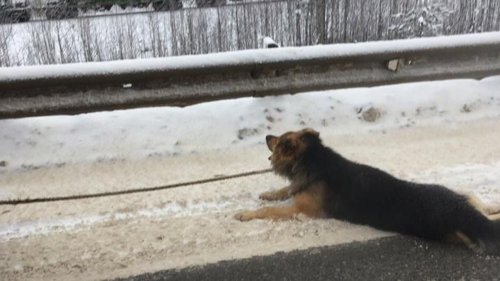 Решил наказать? В Соликамске привязанную к машине собаку протащили по трассе