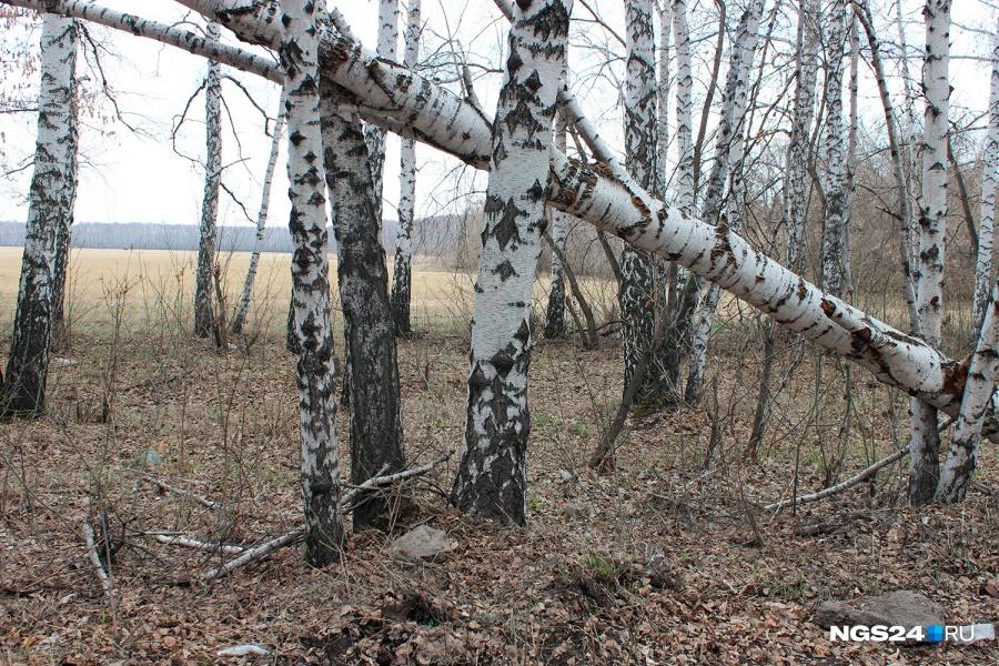 Насевере края неопытный лесоруб повалил дерево наприятеля