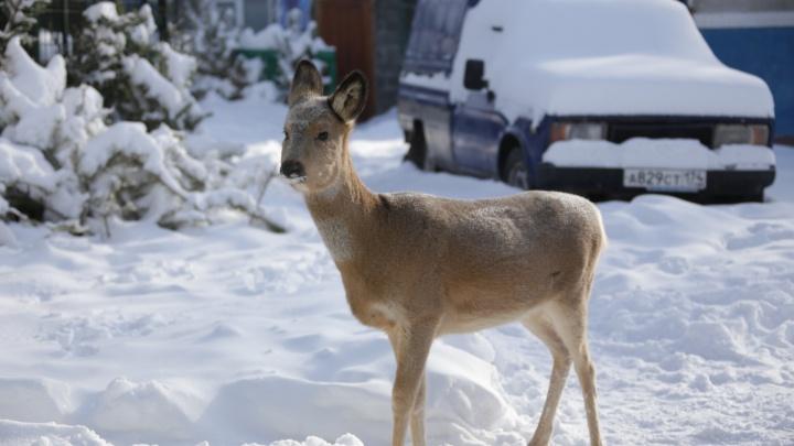 «Кормим чаще и живыми птицами»: смотрим, как диким животным помогают пережить морозы в Челябинске