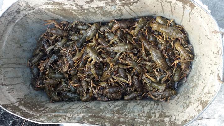 В Сызрани полицейские поймали браконьера, который выловил из Волги 91 рака
