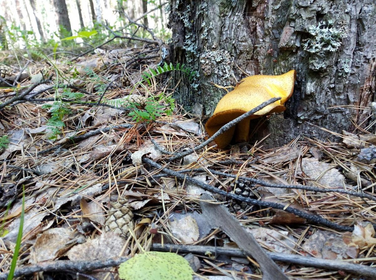 Это моховик из леса по Червишевскому тракту