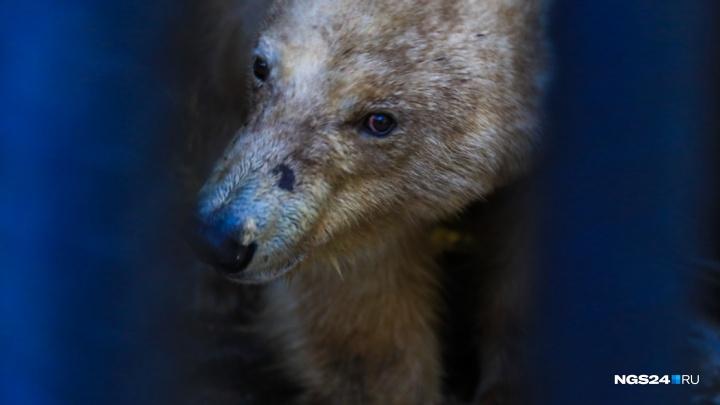 Для спасенной в Норильске медведицы достроили новый вольер с бассейном