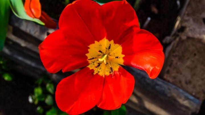 В какой воде цветы простоят дольше? Экспериментируем с сахаром, аспирином и марганцем