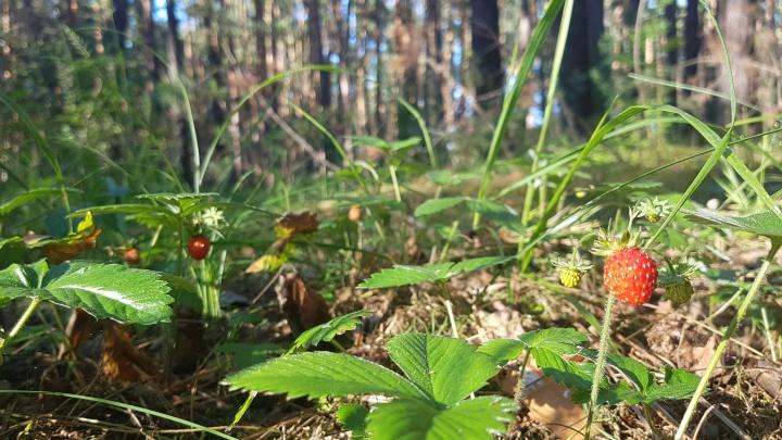 Директора Юргамышского лесничества уволили, когда в лесу стало на 100 сосен меньше