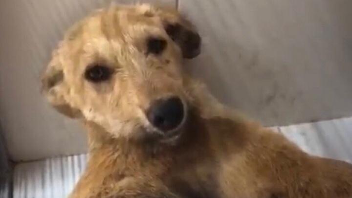 «Это потому, что он беспородный?»: волонтеры спасают сбитого в Волгограде и брошенного умирать щенка