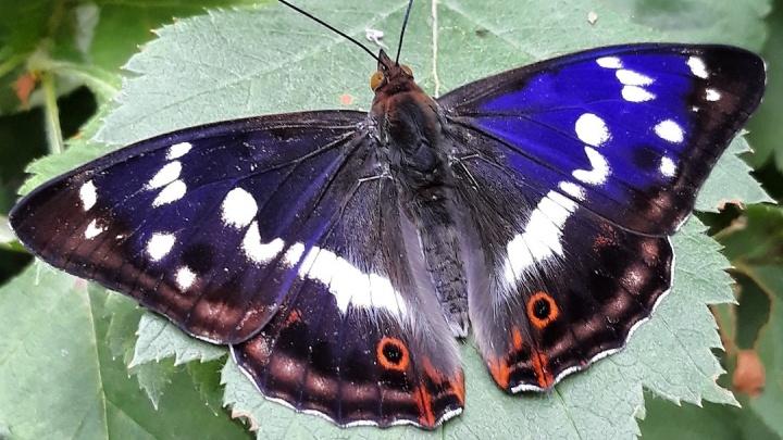 В Новосибирске заметили редких бабочек с синими крыльями