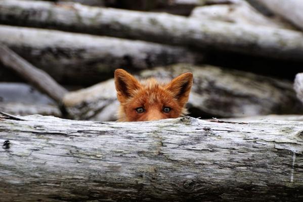 Лисы часто наблюдают за человеком из засады