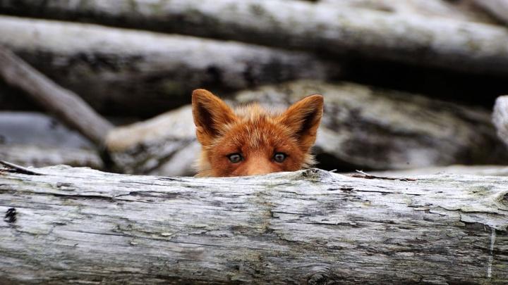Геолог из Новосибирска снял любопытных лис во время экспедиции. Они впервые увидели человека