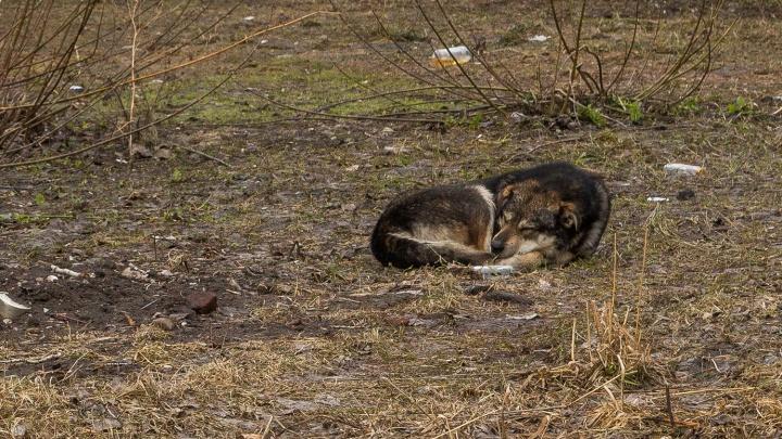 Хватит на 7 тысяч псов: власти нашли 20 миллионов на отлов бездомных животных