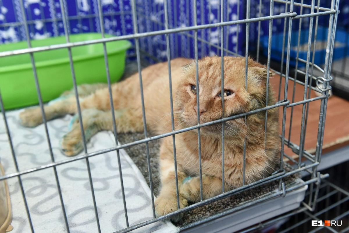 У породистых котов бывают генетические заболевания. Например, нельзя скрещивать двух вислоухих шотландцев, иначе у них возникают проблемы с опорно-двигательным аппаратом. Как у этого котика, например