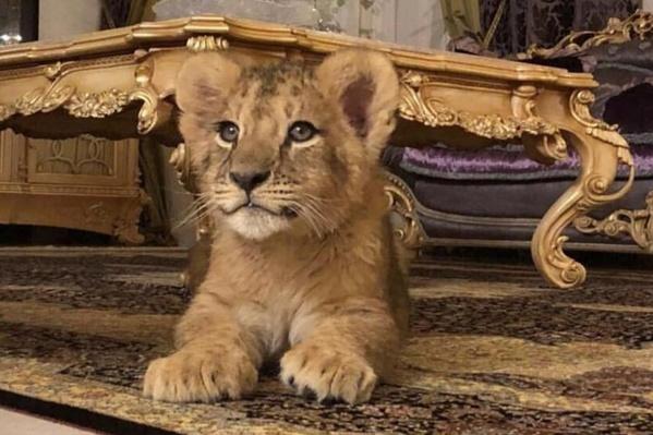 Елена Плотникова предлагает пользователям соцсети фотосессию с львёнком