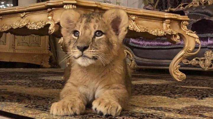 Пермская инстаблогер Елена Плотникова завела львёнка и предлагает с ним фотосессию