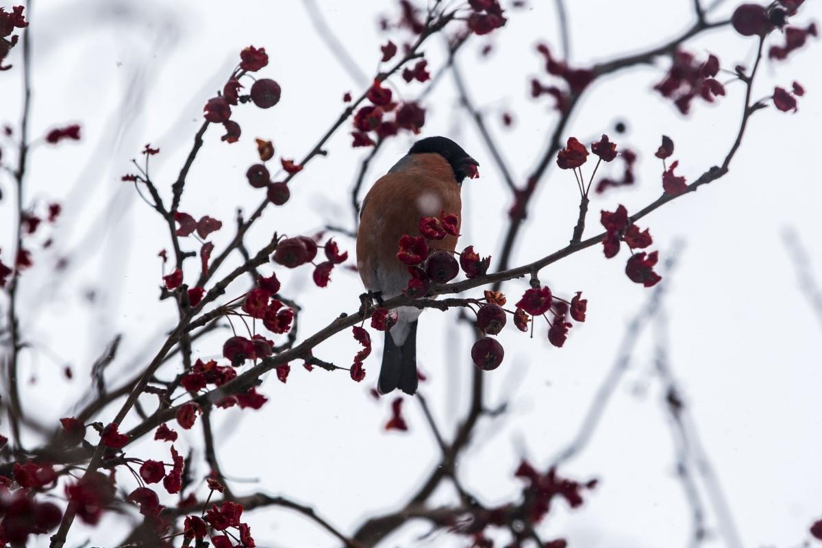 Птицы гнездятся в лесах вблизи Новосибирска, а с наступлением холодной погоды возвращаются в город