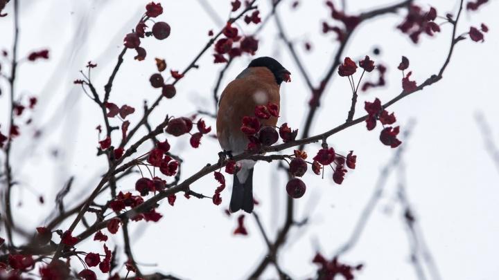 Как медом намазано: урожай рябины и ранеток вызвал в Новосибирск голодных снегирей